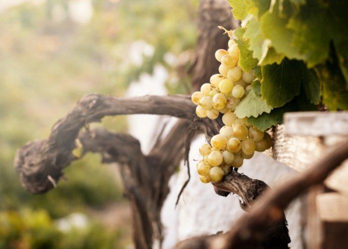 santorini vinho